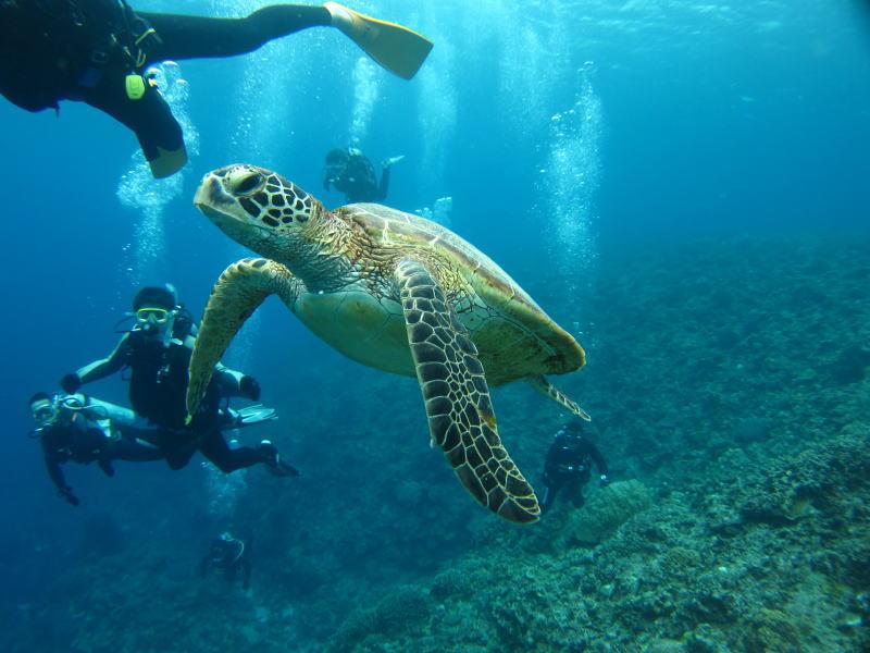 ダイビング中に見られるウミガメ