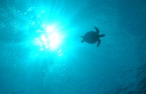 慶良間諸島で見られるウミガメ