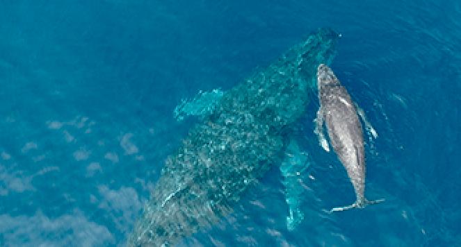慶良間諸島で見られるクジラ